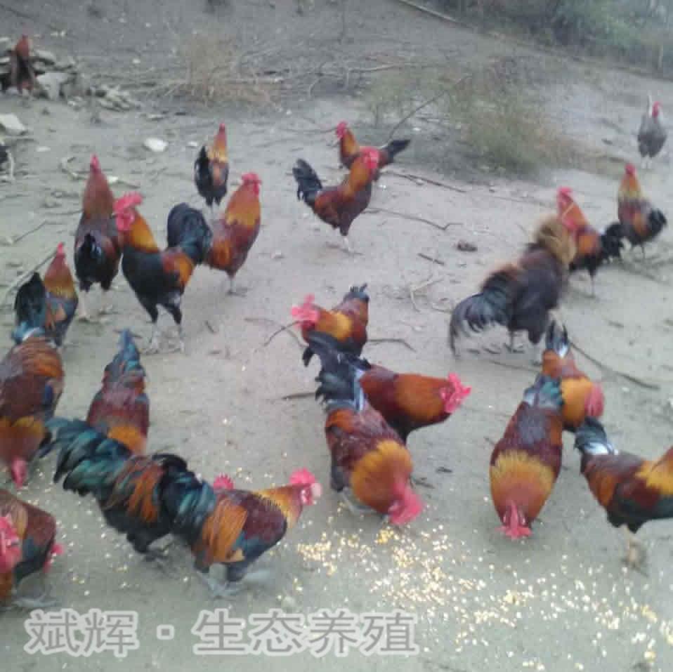 瑶鸡(红羽/黑羽)